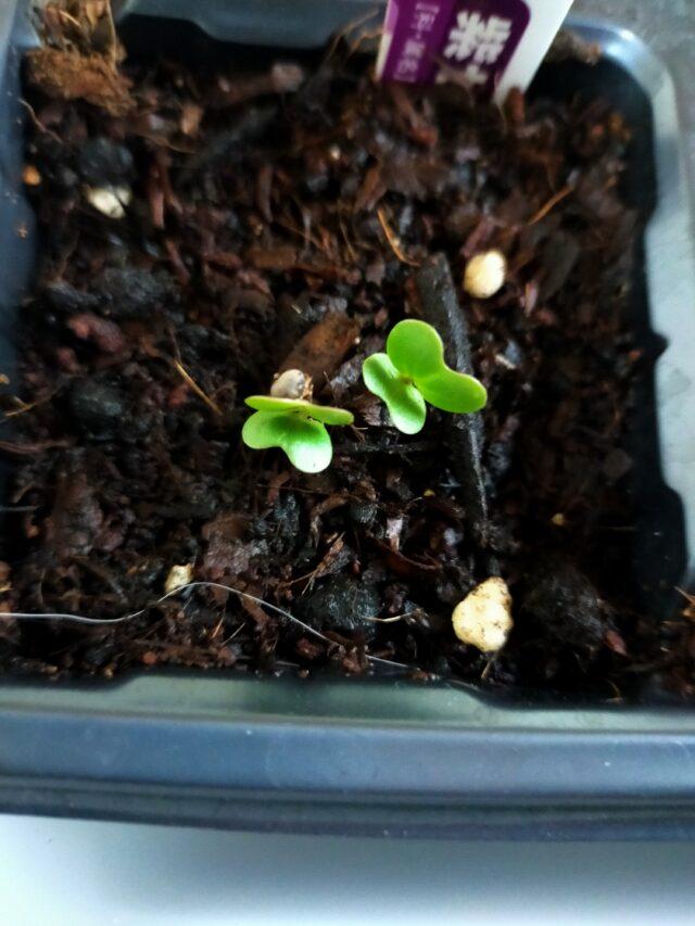 茎ブロッコリー(紫セニョーラ)