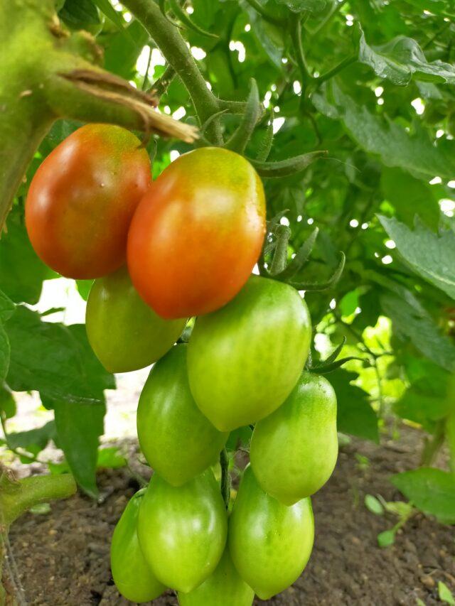 シシリアンルージュハイギャバトマト