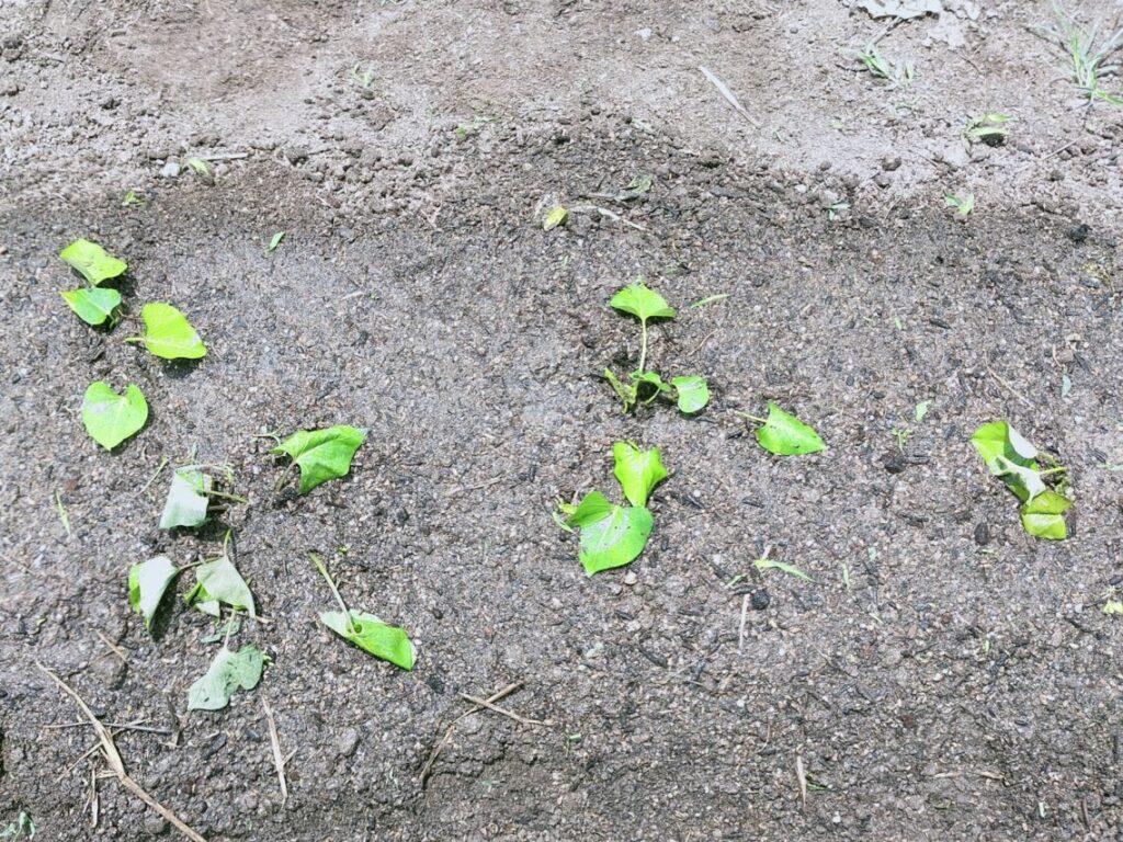 サツマイモの定植